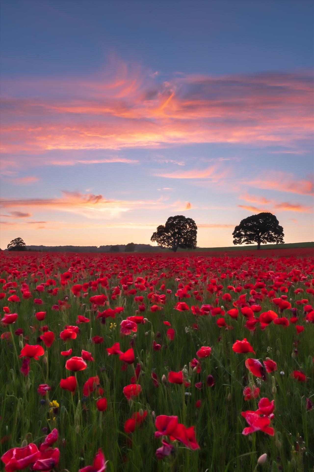 Poppy fields nr Aydon Castle, Northumberland 2  by philreay