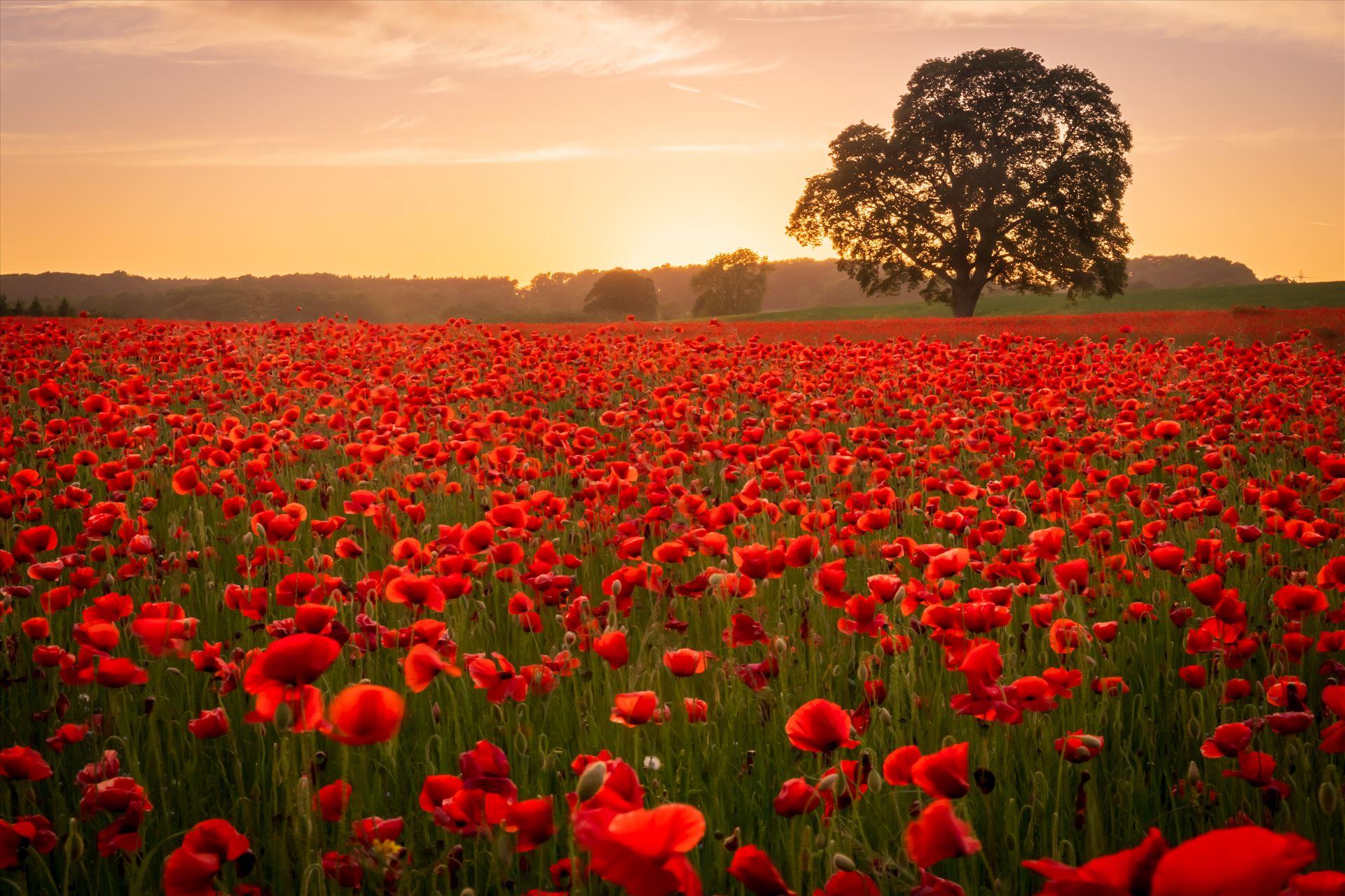 Poppy fields nr Aydon Castle, Northumberland 4  by philreay