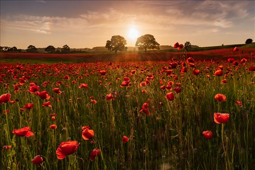 Poppy fields nr Aydon Castle, Northumberland 5 by philreay