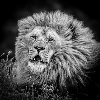 King of the Jungle by philreay