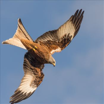 Red Kite by philreay
