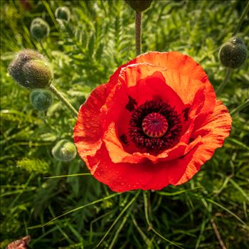 A single poppy by philreay
