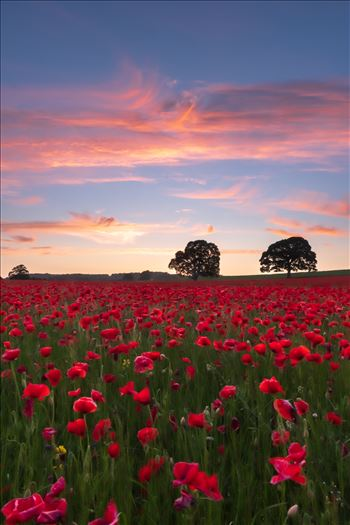 Poppy fields nr Aydon Castle, Northumberland 2 by philreay
