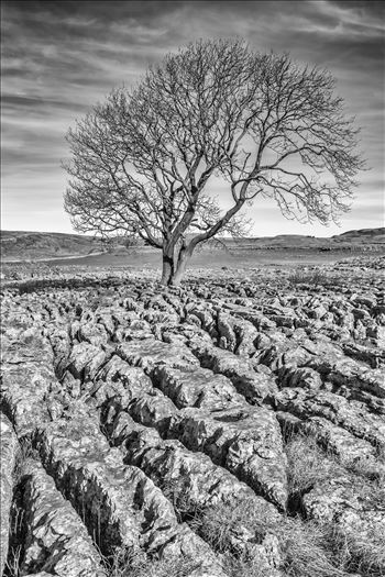 The Lone Tree nr Malham (also available in colour) by philreay