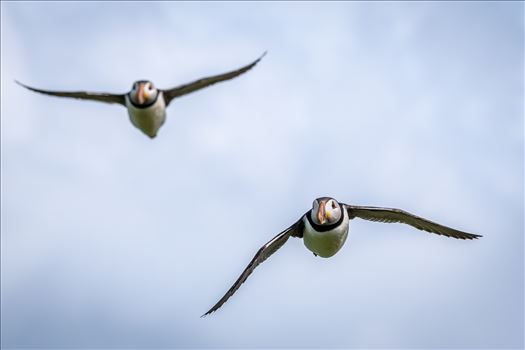 North Atlantic Puffin 04 by philreay