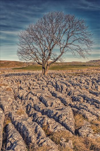 The Lone Tree nr Malham (also available in B&W) by philreay