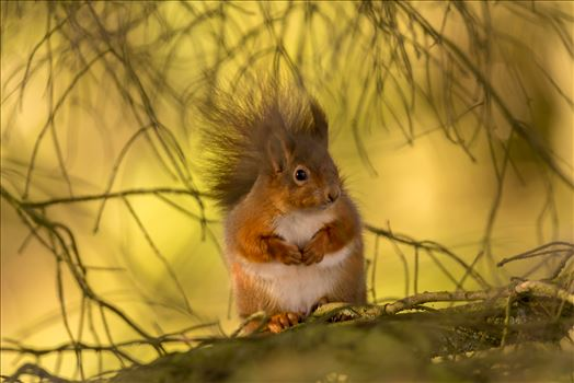 Red squirrel in the wild by philreay