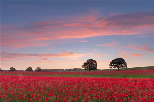 Poppy fields nr Aydon Castle, Northumberland 1 by philreay