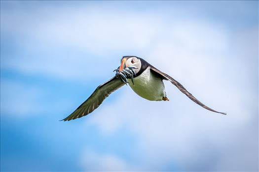 North Atlantic Puffin 05 by philreay