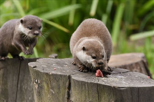Asian short clawed otter by philreay