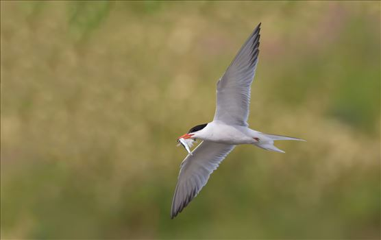 Common Tern by philreay