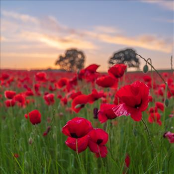 Poppy fields nr Aydon Castle, Northumberland 3 by philreay