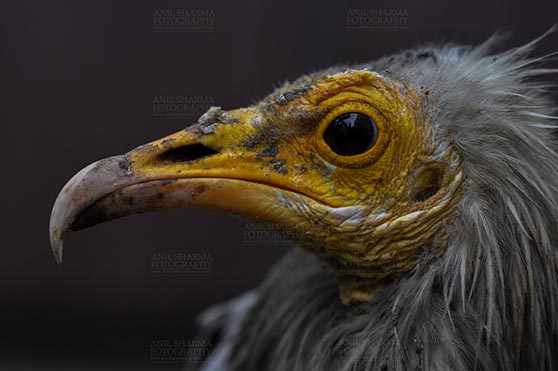 Birds- Egyptian Vulture (Neophron percnopterus) Egyptian vulture, Aligarh, Uttar Pradesh, India- January 21, 2017:  Close-up of an Egyptian Vulture with dark background at Aligarh, Uttar Pradesh, India. by Anil Sharma Fotography
