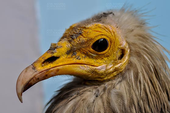 Birds- Egyptian Vulture (Neophron percnopterus) Egyptian vulture, Aligarh, Uttar Pradesh, India- January 21, 2017:  Close-up of an adult Egyptian Vulture with light blue background at Aligarh, Uttar Pradesh, India. by Anil Sharma Fotography