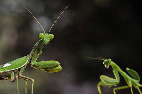 Insect- Praying Mantis Close-up of head of a Praying Mantis, Mantodea (or mantises, mantes) with dark greenish background in a garden at Noida, Uttar Pradesh, India. by Anil Sharma Fotography