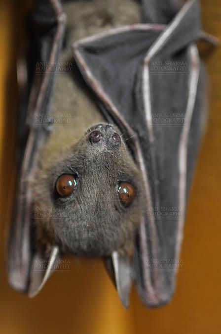 Wildlife- Indian Fruit Bat (Petrous giganteus) Indian Fruit Bats (Pteropus giganteus) Noida, Uttar Pradesh, India- January 19, 2017: Indian fruit bat captive roosting/grooming pose while hanging upside down showing face detail at Noida, Uttar Pradesh, India. by Anil Sharma Fotography