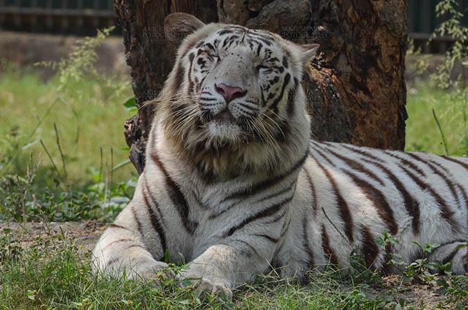 Wildlife- White Tiger (Panthera Tigris) White Tiger, New Delhi, India- April 3, 2018: Portrait of a White Tiger (Panthera tigris) relaxing under a tree at New Delhi, India. by Anil Sharma Fotography