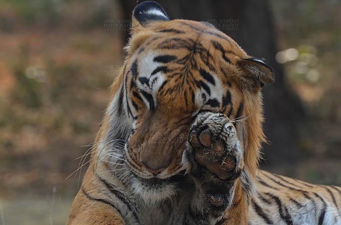 Wildlife- Royal Bengal Tiger (Panthera Tigris Tigris) Royal Bengal Tiger, New Delhi, India- April 5, 2018:  A Royal Bengal Tiger (Panthera tigris Tigris) rubbing its eye with its paw at  New Delhi, India. by Anil Sharma Fotography