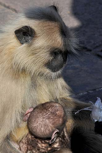 Wildlife- Gray or Common Indian Langur (India) A black footed mother Gray Langur (Semnopithecus hypoleucos) holding her newly born baby at Bhopal, Madhya Pradesh, India. by Anil Sharma Fotography
