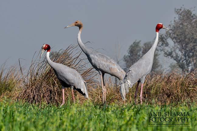 Birds- Sarus Crane (Grus Antigone) A Sarus Crane family, Grus Antigone (Linnaeus) at Dhanauri wetland, Greater Noida, Uttar Pradesh, India. by Anil