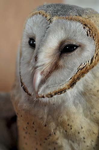 Birds- Barn Owl Tyto Alba (Scopoli) A close up portrait of Barn Owl Tyto Alba (Scopoli) watching at left showing eyes and beak, Noida, Uttar Pradesh, India. by Anil Sharma Fotography