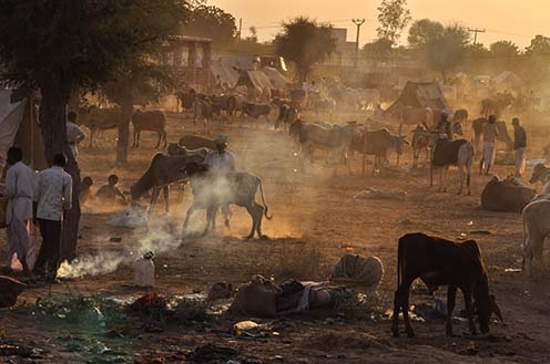Fairs- Nagaur Cattle Fair (Rajasthan) Nagaur, Rajasthan, India- Febuary 10, 2011: Dust and smoke evening, farmers with their families cattles and bullcarts at the Nagaur cattle fair, Nagaur, Rajasthan (India). by Anil Sharma Fotography