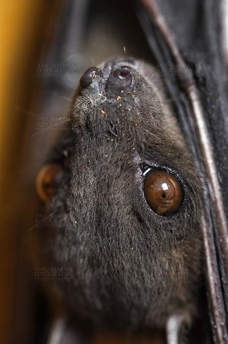 Wildlife- Indian Fruit Bat (Petrous giganteus) Indian Fruit Bats (Pteropus giganteus) Noida, Uttar Pradesh, India- January 19, 2017: Close-up of an Indian fruit bat hanging upside down showing face detail at Noida, Uttar Pradesh, India. by Anil