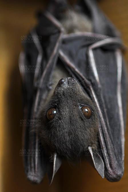 Wildlife- Indian Fruit Bat (Petrous giganteus) Indian Fruit Bats (Pteropus giganteus) Noida, Uttar Pradesh, India- January 19, 2017: An Indian fruit bat hangs with wings folded at Noida, Uttar Pradesh, India. by Anil Sharma Fotography