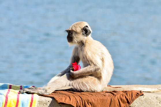 "Fairs- Pushkar Fair (Rajasthan) Pushkar, Rajasthan, India- January 16, 2018: ""Rose Lover"" A baby Gray langur with rose at Pushkar Sarover, Rajasthan, India. by Anil Sharma Fotography"