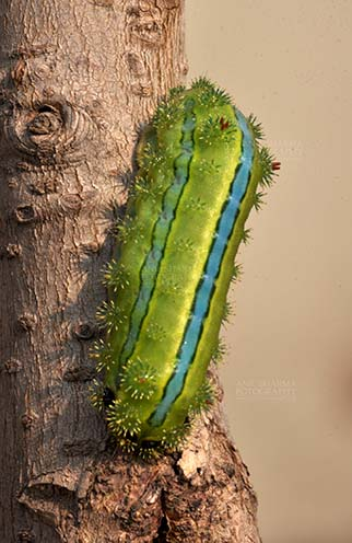 Insects- Caterpillar Noida, Uttar Pradesh, India- December 29, 2013: A Green-blue color Caterpillar on a tree branch in a garden at Noida, Uttar Pradesh, India. by Anil
