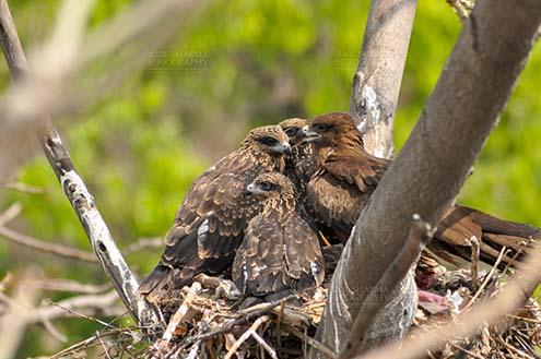 Birds-  Black Kite Milvus migrans (Boddaert) Young Black Kite chicks with Mom. by Anil Sharma Fotography