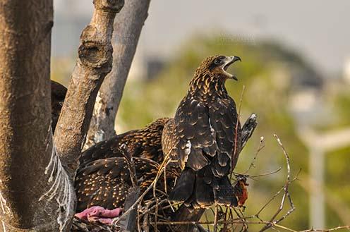 Birds-  Black Kite Milvus migrans (Boddaert) Hungry black kite chick calling Mom !!!! by Anil Sharma Fotography