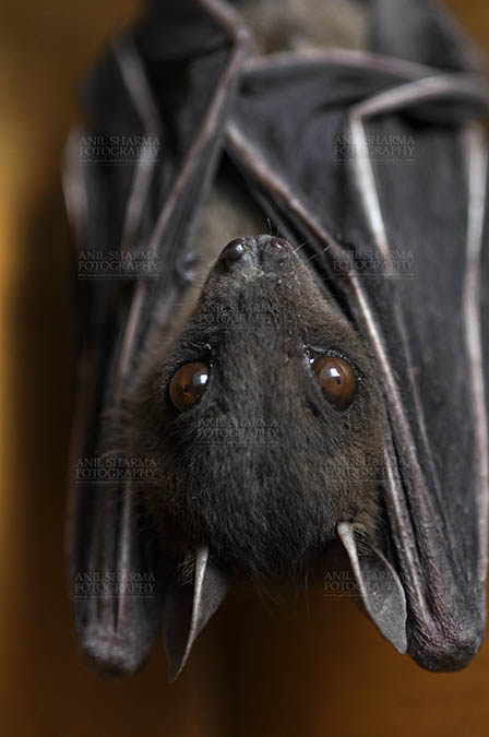 Wildlife- Indian Fruit Bat (Petrous giganteus) Indian Fruit Bats (Pteropus giganteus) Noida, Uttar Pradesh, India- January 19, 2017: An Indian fruit bat hangs with wings folded at Noida, Uttar Pradesh, India. by Anil Sharma Fotography