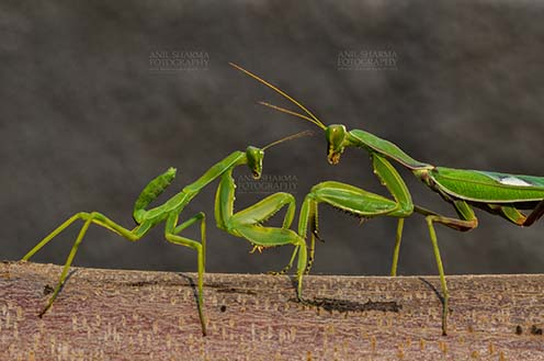 Insect- Praying Mantis Side view of two Praying Mantis, Mantodea (or mantises, mantes)  in playful mood on a tree branch at Noida, Uttar Pradesh, India by Anil Sharma Fotography