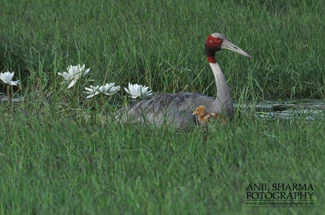 Birds- Sarus Crane (Grus Antigone) Mom Sarus Crane, Grus Antigone (Linnaeus) with her chick at Greater Noida, Uttar Pradesh, India. by Anil Sharma Fotography