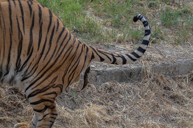 Wildlife- Royal Bengal Tiger (Panthera Tigris Tigris) Royal Bengal Tiger, New Delhi, India- April 5, 2018: A Royal Bengal Tiger (Panthera tigris Tigris) feces at New Delhi, India. by Anil Sharma Fotography