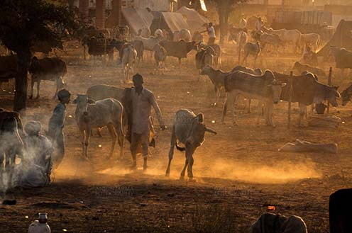 Fairs- Nagaur Cattle Fair (Rajasthan) Nagaur, Rajasthan, India- Febuary 10, 2011: Smoke and Dusty evening, a buyer with cow and cattles in the background at Nagaur cattle fair, Nagaur, Rajasthan (India). by Anil Sharma Fotography