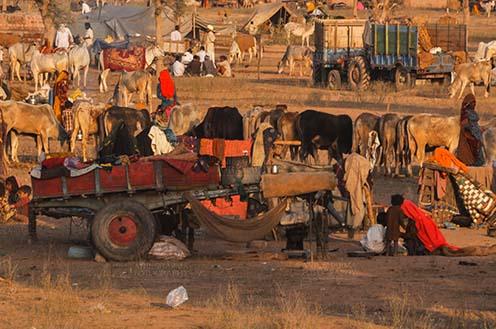 Fairs- Nagaur Cattle Fair (Rajasthan) Nagaur, Rajasthan, India- Febuary 10, 2011: Farmers with their families cattles and bullcarts at the Nagaur cattle fair, Nagaur, Rajasthan (India). by Anil Sharma Fotography