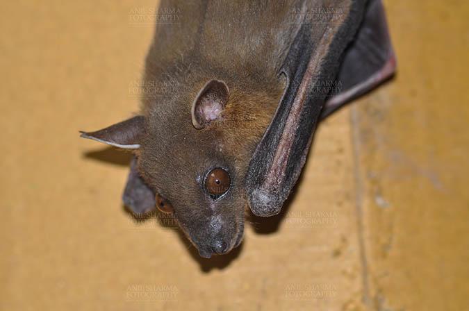 Wildlife- Indian Fruit Bat (Petrous giganteus) Indian Fruit Bat (Pteropus giganteus) Noida, Uttar Pradesh, India- January 19, 2017: An Indian fruit bat hanging in a room taking rest at Noida, Uttar Pradesh, India. by Anil