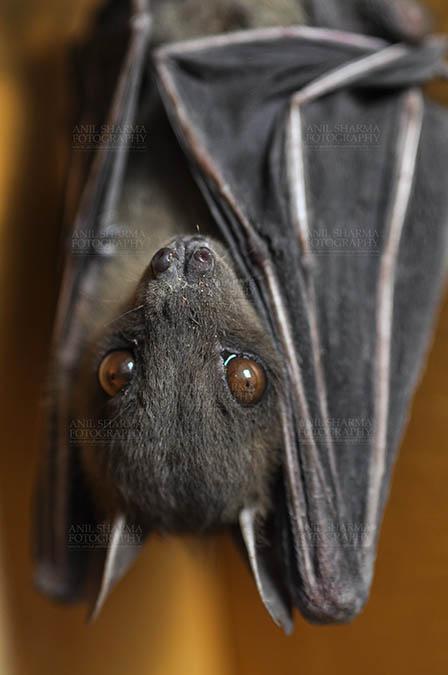 Wildlife- Indian Fruit Bat (Petrous giganteus) Indian Fruit Bats (Pteropus giganteus) Noida, Uttar Pradesh, India- January 19, 2017: Close-up of an Indian fruit bat hanging upside down showing face detail at Noida, Uttar Pradesh, India. by Anil Sharma Fotography