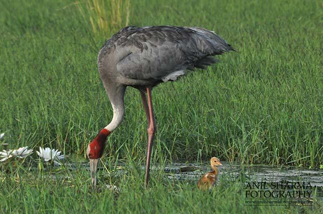 Birds- Sarus Crane (Grus Antigone) Mom Sarus Crane, Grus Antigone (Linnaeus) with her chick at Greater Noida, Uttar Pradesh, India. by Anil