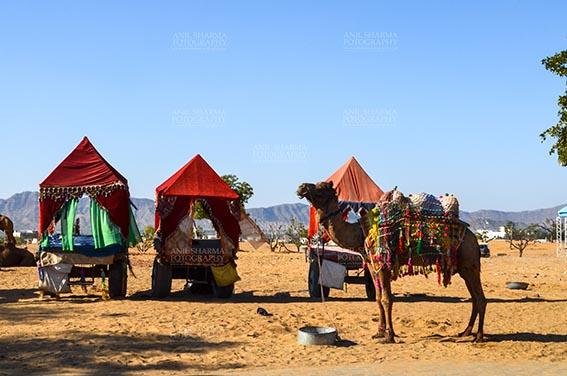 Fairs- Pushkar Fair (Rajasthan) Pushkar, Rajasthan, India- January 16, 2018: Decorated Camel coach for tourists and devotees at Pushkar, Rajasthan, India. by Anil Sharma Fotography