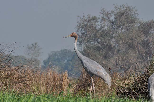 Birds- Sarus Crane (Grus Antigone) A young Sarus Crane, Grus Antigone (Linnaeus) in an agricultural field at Dhanauri wetland, Greater Noida, Uttar Pradesh, India. by Anil