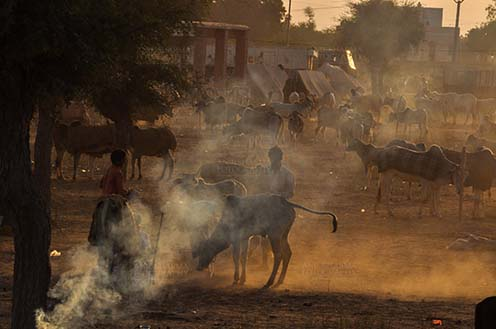 Fairs- Nagaur Cattle Fair (Rajasthan) Nagaur, Rajasthan, India- Febuary 10, 2011: Dusty evening, a buyer with cow and cattles in the background at Nagaur cattle fair, Nagaur, Rajasthan (India). by Anil Sharma Fotography