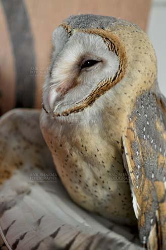 Birds- Barn Owl Tyto Alba (Scopoli) Close up portrait of Barn Owl Tyto Alba (Scopoli) watching at right, Noida, Uttar Pradesh, India. by Anil Sharma Fotography