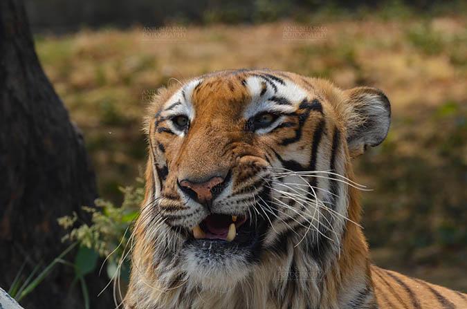 Wildlife- Royal Bengal Tiger (Panthera Tigris Tigris) Royal Bengal Tiger, New Delhi, India- April 3, 2018: Close-up of a Royal Bengal Tiger (Panthera tigris Tigris) in aggressive mood showing its canines at New Delhi, India. by Anil Sharma Fotography