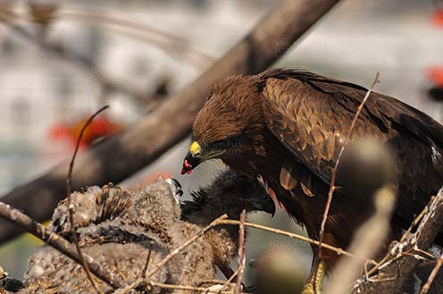 Birds-  Black Kite Milvus migrans (Boddaert) Mom black kite feeding raw meat to her chicks. by Anil Sharma Fotography