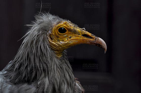 Birds- Egyptian Vulture (Neophron percnopterus) Egyptian vulture, Aligarh, Uttar Pradesh, India- May 26, 2017: Close-up of an Egyptian Vulture looking straight with dark background at Aligarh, Uttar Pradesh, India. by Anil Sharma Fotography