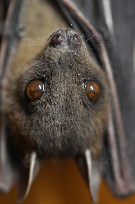 Wildlife- Indian Fruit Bat (Petrous giganteus) Indian Fruit Bats (Pteropus giganteus)  Noida, Uttar Pradesh, India- January 19, 2017: An Indian fruit bat hanging upside down showing big eyes at Noida, Uttar Pradesh, India. by Anil Sharma Fotography