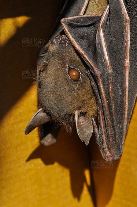Wildlife- Indian Fruit Bat (Petrous giganteus) Indian Fruit Bats (Pteropus giganteus) Nostrils, Noida, Uttar Pradesh, India- January 19, 2017: Close-up of an Indian fruit bat hanging upside down looking left body covered with its wings, showing face detail at Noida, Uttar Pradesh, India. by Anil